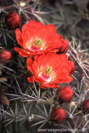 flower pictures - claret cup cactus wild flower