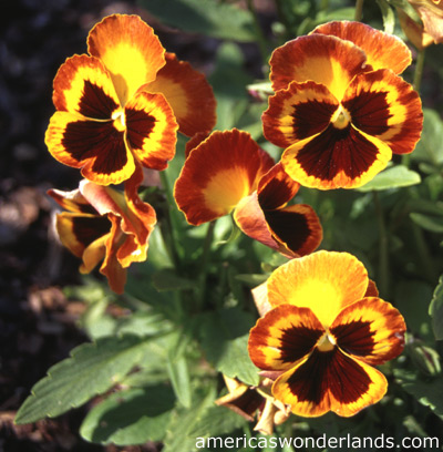 honorsbrit  pansies, Natural flower