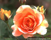 flower pictures - rose