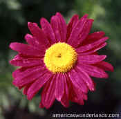 flowe pictures - purple daisy