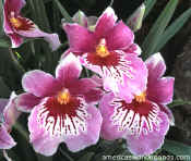 flowers - pansy orchid