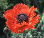 turkish deligh poppy flower