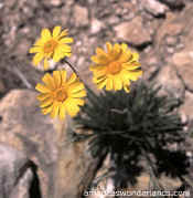 flower photos - desert marigold