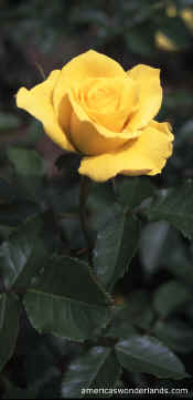 rose pictures - yellow rose photo