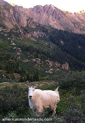 Mountain goat - weminuche wilderness