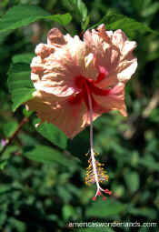 hibiscus photograph picture